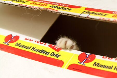 A small ragdoll kitten playing in a delvery box   Surprise  Stock Photo