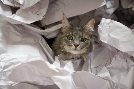 A Maine Coon kitten peering out from a pile of butchers paper