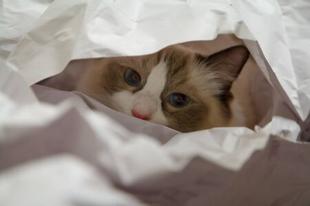 A Ragdoll kitten peering out from a pile of butchers paper