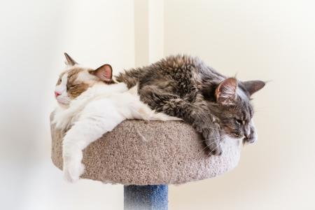 A Ragdoll and a Maine Coon kitten make a sleepy cat pile