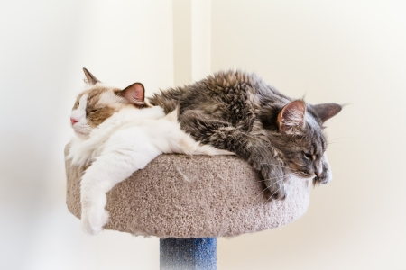 A Ragdoll and a Maine Coon kitten make a sleepy cat pile