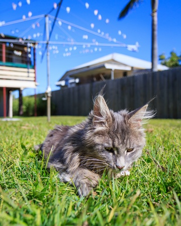 A grey Maine Coon tabby cat sniffs a tiny wild flower in the grass  The background is a typical Australian back yard with rotary, wooden fence, palm tree, and Queenslander style houses Stock Photo