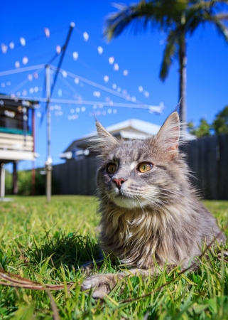 A grey Maine Coon tabby cat lying on the grass  The background is a typical Australian back yard with rotary, wooden fence, palm tree and Queenslander style houses photo