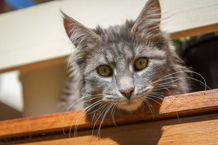 A cheeky grey tabby Maine Coon kitten peers over the edge of a wooden balcony, and stares straight to camera