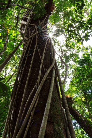 A strangular fig wrapping itself around a huge tree in the Daintree rainforest, with a sun burst coming through the canopy