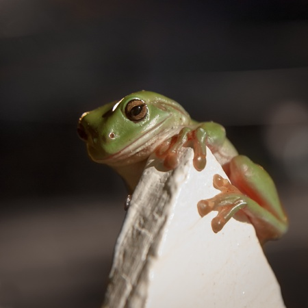 urban wildlife: Typical Australian urban wildlife, a green tree frog clings to a cream fencepost Stock Photo