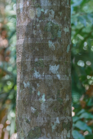 Ringed Bark of  Tropical Palm Tree