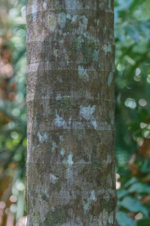 bark palm tree: Ringed Bark of  Tropical Palm Tree