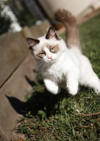 bounding: A seal bicolor ragdoll kitten leaping and playing in a Stock Photo