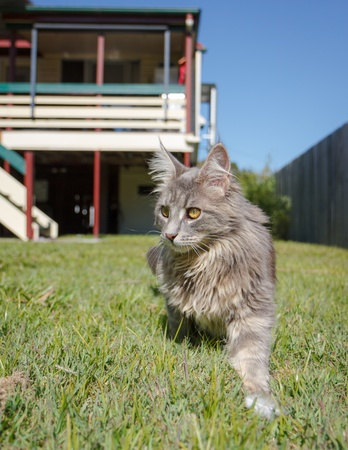 A grey tabby Maine Coon cat walking through the green grass of a typical Australian backyard  An Australian Queenslander and blue sky in the background