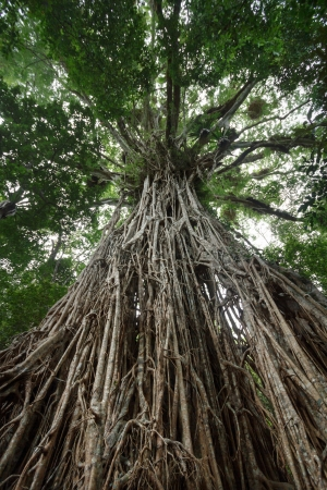 Looking up the giant Cathedral Fig Tree on the Atherton Tablelands Stock Photo