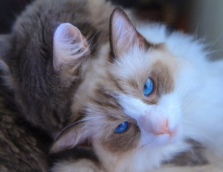 cuddled: A blue-eyed ragdoll cat looking direct to camera, being cuddled by an adorable grey tabby