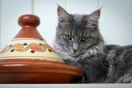 A gray Maine Coon tabby cat guarding an orange terracotta clay tagine photo