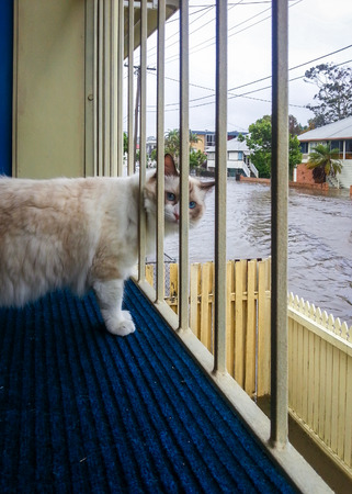 A blue-eyed ragdoll cat looking at a flooded St in Brisbane Stock Photo