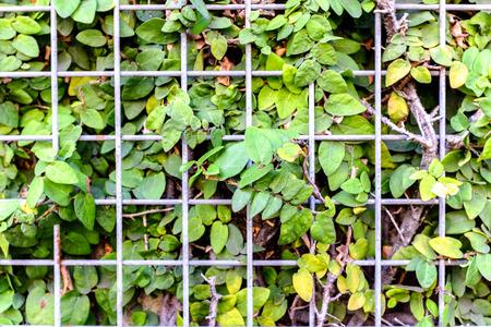 encroach: Weed vines trapped behind a metal grid fence
