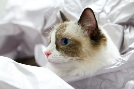 Cute blue-eyed ragdoll cat head sticking out of crumpled paper photo