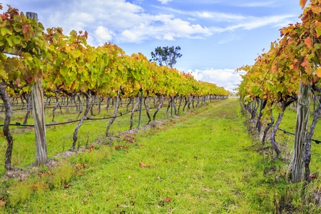Two rows of wine grape vines in full Autumn or Fall Colours.  Granite Belt wine region in Queensland, Australia