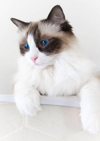 eyes looking down: White ragdoll cat with bright blue eyes looking down from her perch