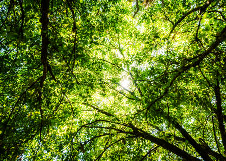 Green natural canopy overhead, backlit with  warm Australian sun in Carnarvon Gorge in Queensland Stock Photo