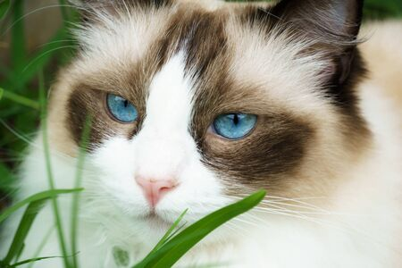 Cute ragdoll cat with bright blue eyes peering out from behind blades of green grass