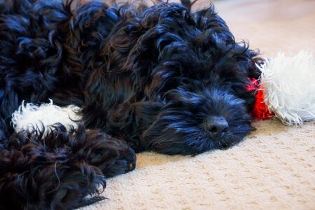 Black Spoodle puppy asleep on a red and white Christmas Santa hat Stock Photo