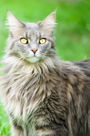 Watching grey tabby cat with bright yellow eyes, and green grass in the background.