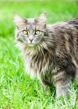 Alert gray Maine Coon tabby cat, standing in green grass. The Maine Coon is the largest domestic breed.