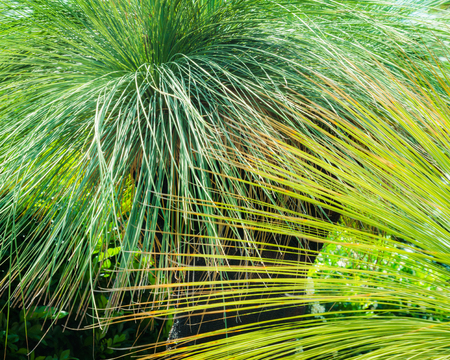 Overlapping fronds of two Australian grasstree leaves in horizontal