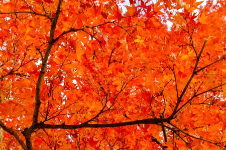 Rich orange leaves framed by dark branches, to form a beautiful fall or autumn