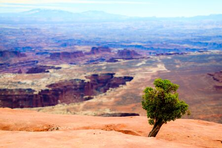 A tiny Utah juniper overlooks the canyons in Canyonlands National Park. Stock Photo