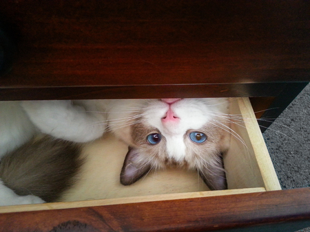 Cute white kitten with blue eyes and a pink nose lying on her back in a wooden drawer. The ragdoll cat is peaking out and looking direct ro camera.