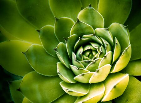 Macro of a green cactus flower with delicate sharp spikes Stock Photo