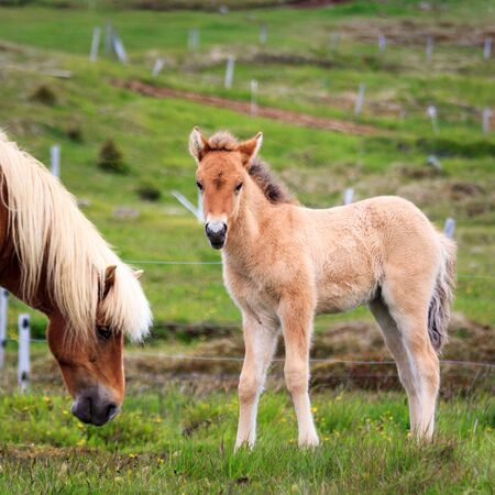 An adorable Icelandic foal standing watching the photographer. An Icelandic horse mare is eating alongside. Stock Photo
