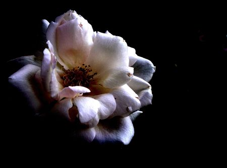 White rose in shadows