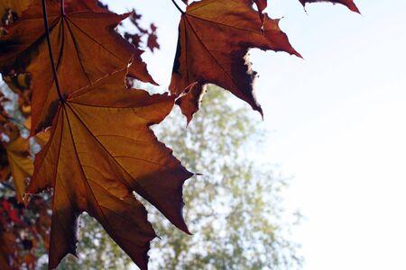 Maple leaves against a light sky Stok Fotoğraf
