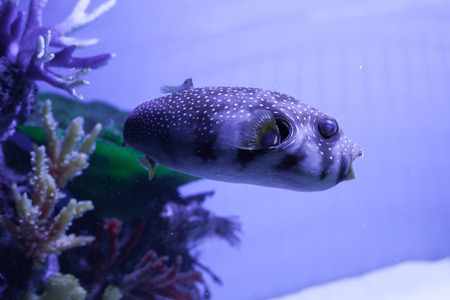 arothron: White-spotted puffer fish close up . Arothron hispidus