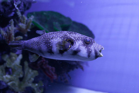 White-spotted puffer fish close up . Arothron hispidus