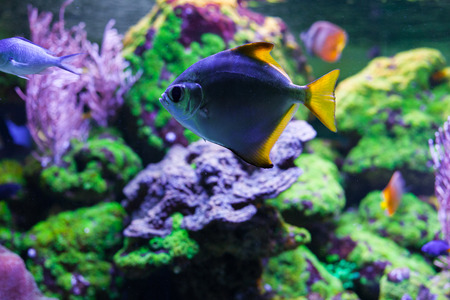 sarcophyton: Monodactylus argenteus swimming under water among beautiful bright coral