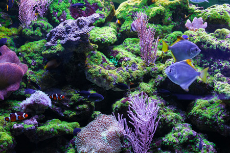 sarcophyton: Beautiful colorful corals. Among the corals swim little fishes Stock Photo