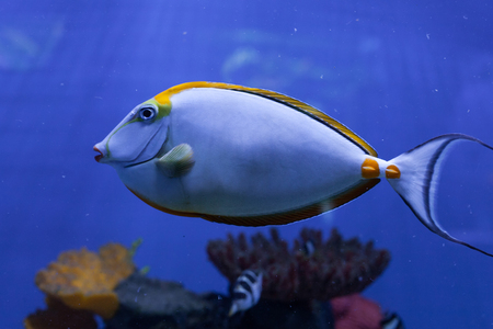 Naso lituratus, orangespine unicornfish, tropical fish closeup