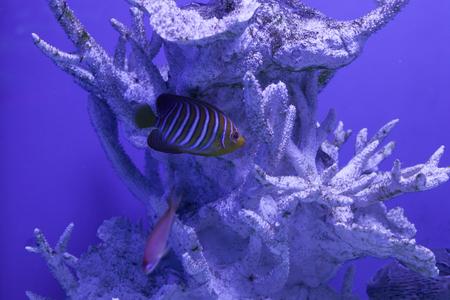 Royal angelfish among corals, regal angelfish, pygoplites diacanthus