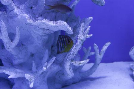 pygoplites diacanthus: Royal angelfish hiding among the corals, regal angelfish, pygoplites diacanthus Stock Photo
