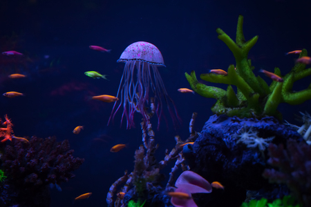 Beautiful jellyfish under water among corals, close up