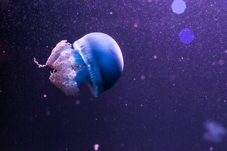 Blue blubber jellyfish in the dark water. Catostylus mosaicus. Reklamní fotografie