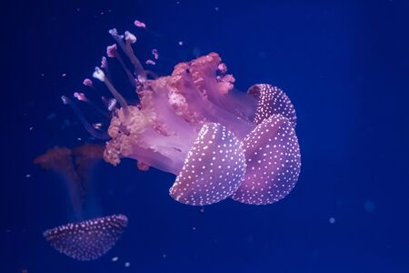 Australian spotted jellyfishes in the water. Phyllorhiza punctata.