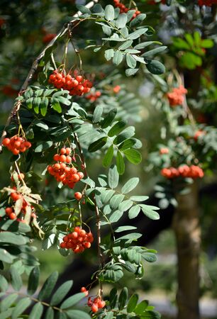 Mountain ash, Sorbus Aucuparia branches with foliage and ripe bright orange berries on sunny day. The plant is used to make medicines, the berries are bitter but edible.