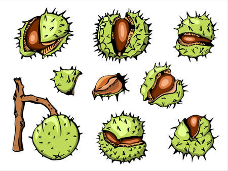 Horse Chestnut vetor illustration set, initially hand drawn with ink, vectorized and colored. Bright prickly nutshells cracked open.
