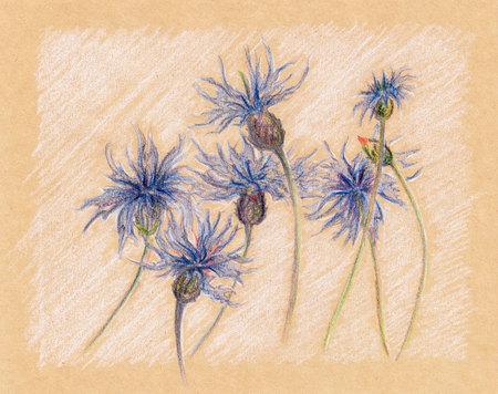 cornflowers: Blue cornflowers floral craft sketch vintage retro.