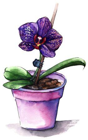 violet: Violet phalaenopsis orchid flower in violet pot. Stock Photo
