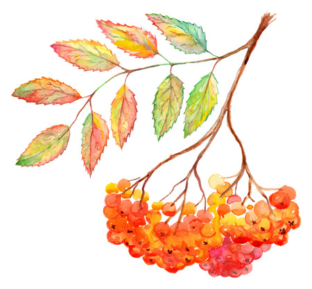 ashberry: Watercolor rowan ashberry leaf branch botanical illustration isolated.
